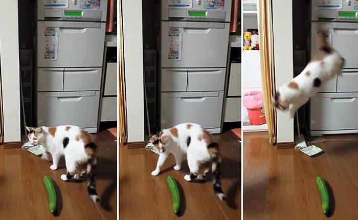 Коты, которые панически боятся огурцов.