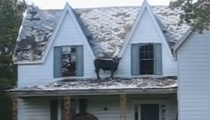 Живой бык на крыше террасы.