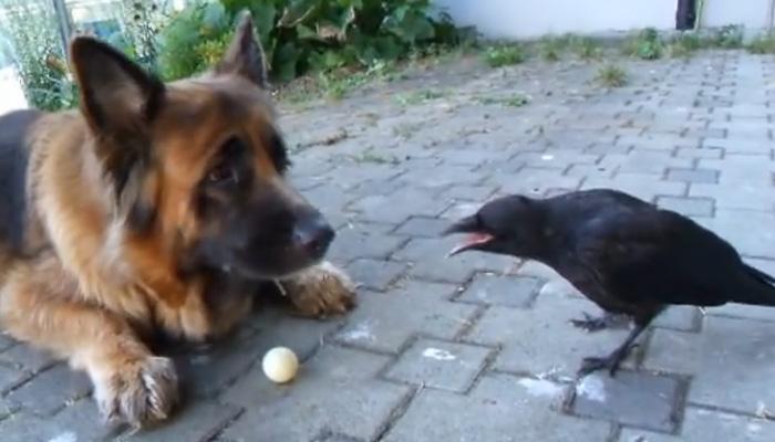 Собака, ворона и человек катают мячик.