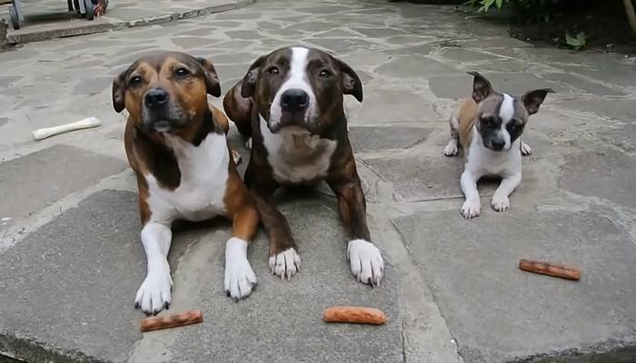 Собаки ждут команды, чтобы съесть сосиски.