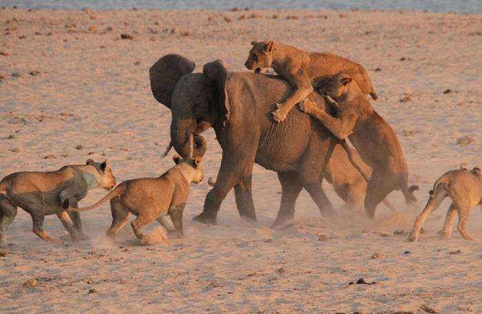 Храбрый слоненок атакован 14 львами.