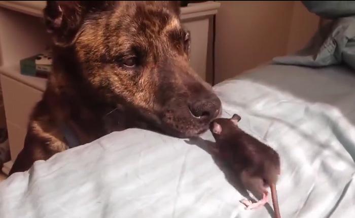 Умилительное первое знакомство собаки и крысы.