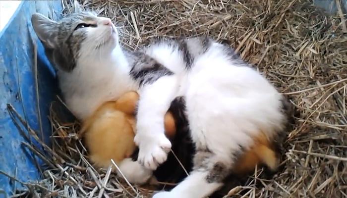 Котята и утята спят вместе.