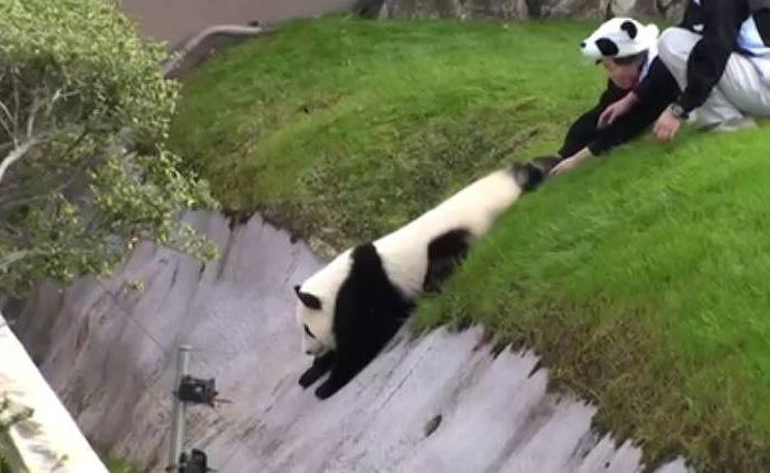 Самый непоседливый мишка панда доставил много хлопот сотрудникам зоопарка.