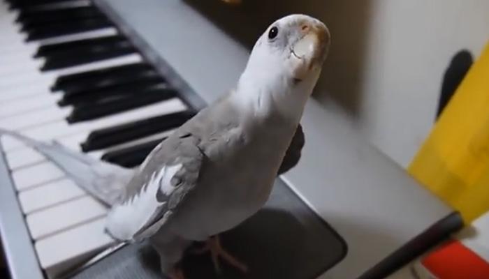 Очень музыкальный попугай.
