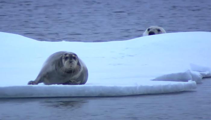 Полярный медведь охотится на морского котика.