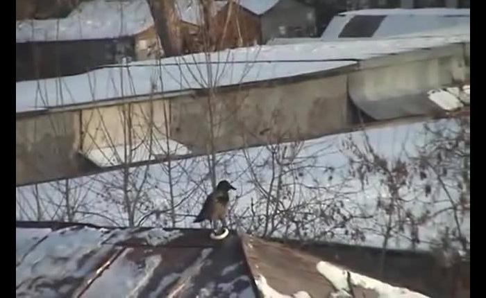 Ворона с удовольствием катается с крыши.