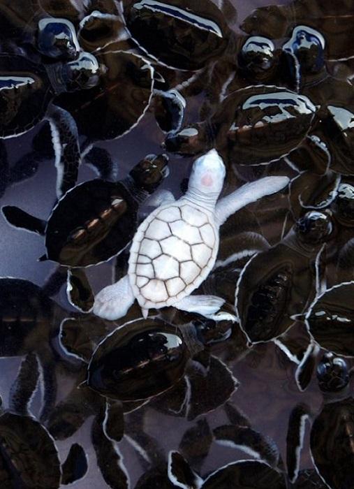 Черепаха-альбинос, родившаяся в биопитомнике в Бразилии.