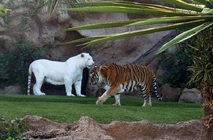 Хищное млекопитающее семейства кошачьих, один из четырёх представителей рода пантер.