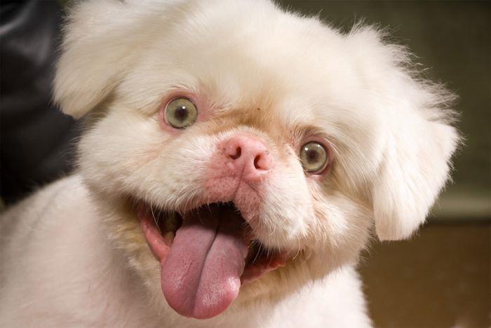 Пёс-альбинос с светлыми глазами.