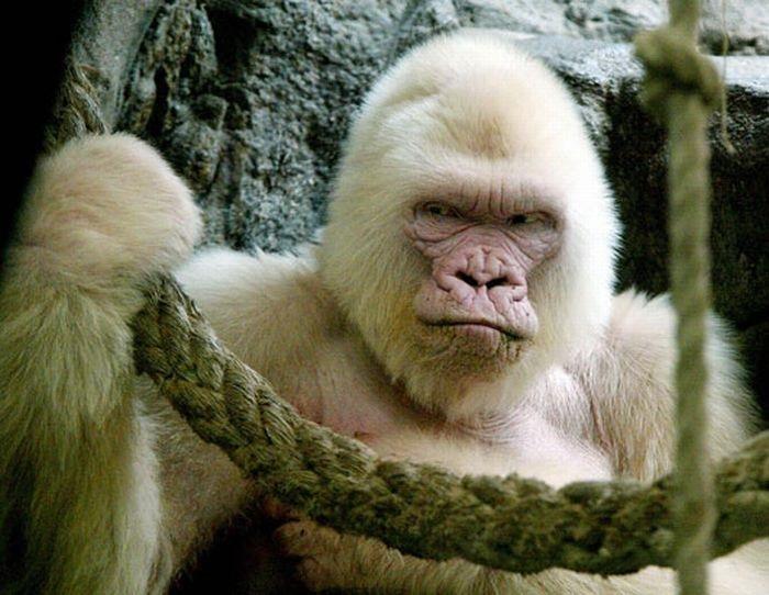 Известная горила-альбинос Снежинка, жившая в Барселонском Зоопарке с 1966 до 2003 года.