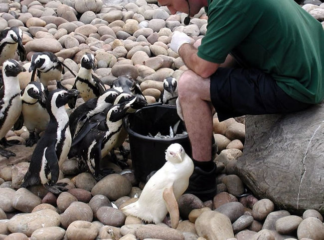 Пингвин-Подснежник родившийся в Бристольском Зоопарке.