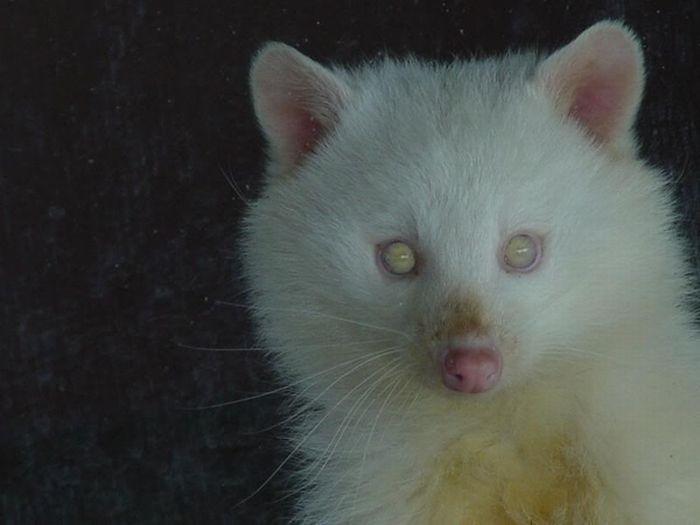 Енот-альбинос живет в Техаском зоопарке Wichita Falls.