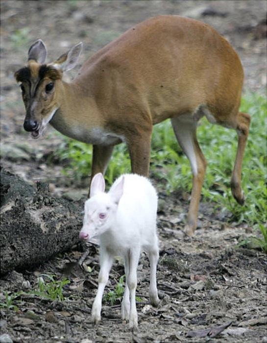 Трехнедельный оленёнок-альбинос - новый член зоопарка Дасит в Бангкоке.