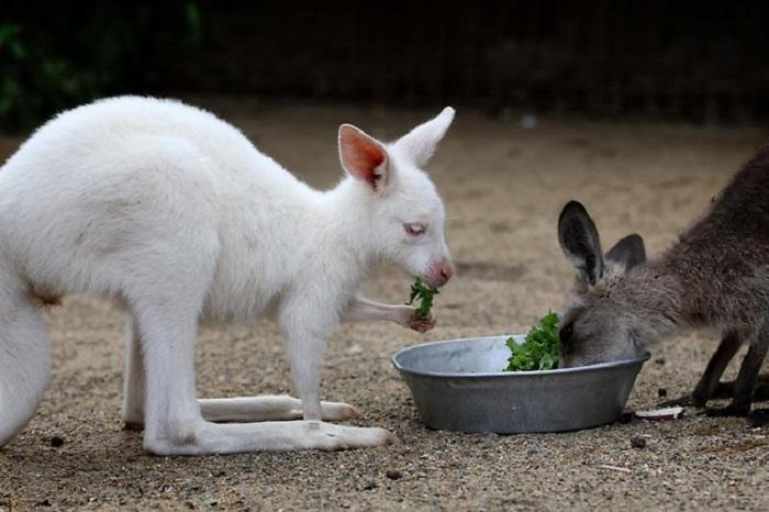 Самка, по кличке Ренни, относится к виду обычных восточных серых кенгуру.