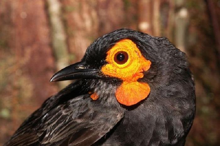 Медосос был обнаружен в 2005 году в горах Фойя в индонезийской провинции на острове Новая Гвинея.
