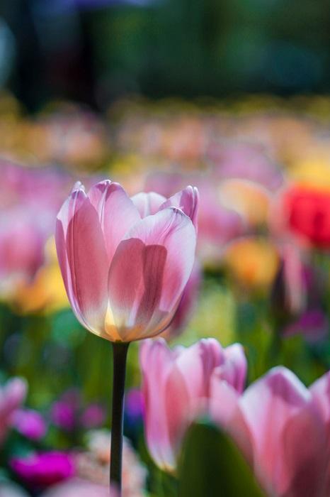 Цветочный «король» весенней Голландии.