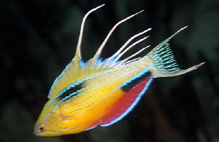 Самцы проходят через удивительный ритуал ухаживания, при котором они загораются электрическими импульсами разных цветов при виде проплывающих мимо самок.