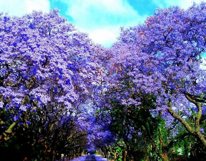 Весенние цветущие деревья жакаранды.