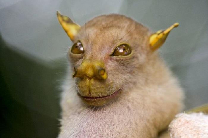Фруктовая летучая мышь имеет необычный нос и относится к недавно открытому виду Nyctimene. Животное обитает в лесах Новой Гвинеи.