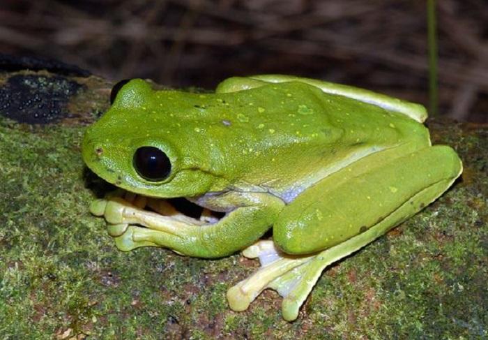 Лягушка была обнаружена в Новой Гвинее в 2008 году. Она необычна своим веноподобным узором на веках.