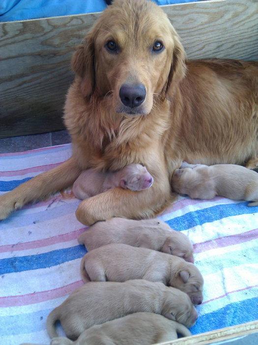 Счастливая мама с новорождёнными щенками.