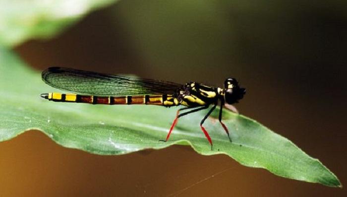 Стрекоза имеет уникальное сочетание цветов, отличающее её от других видов, а именно, желтое брюхо и красно ножки. Этот вид является одним из показателей качества воды в реке Конго.