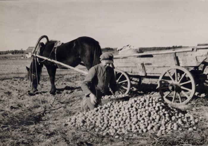 Мужчина собирается перевозить картофель с поля домой, 1936 год.
