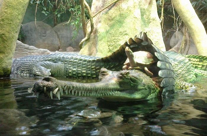 Черепаха оседлала крокодила, в зоопарке в Праге, Чехия.