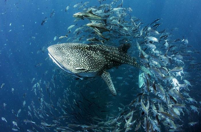 Автор фотографии «Китовая акула в Таиланде» – Дэн Чарити (Dan Charity).