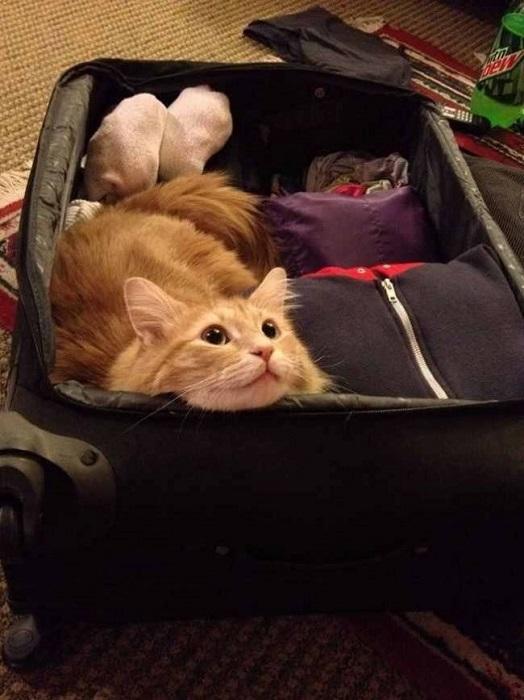 Кот сам решает ехать с вами или нет.