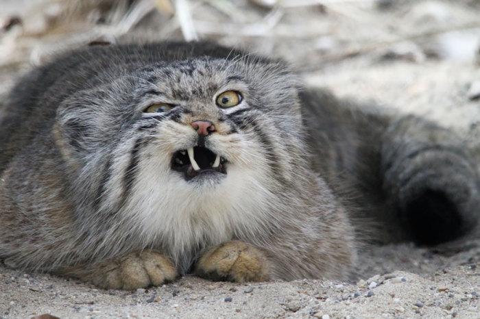 Очаровательные кошки, которые любят светлое время суток проводить в пещерах, расщелинах скал или норах, и выбираются наружу только в конце дня, чтобы поохотиться.
