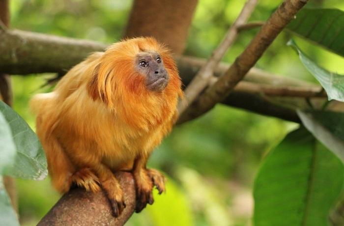 Маленькая обезьяна, которая находится под угрозой исчезновения.