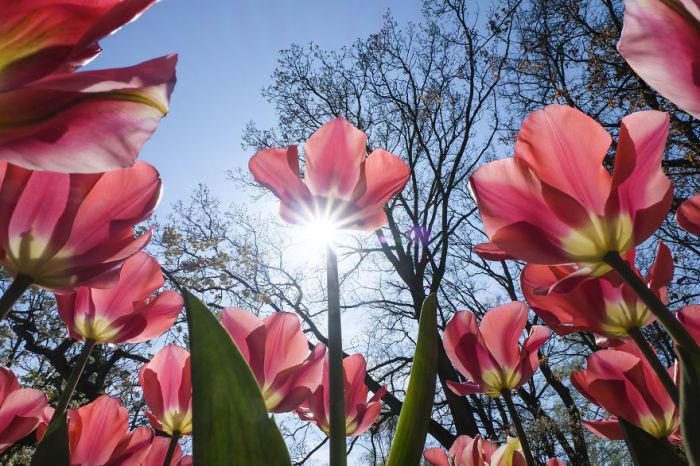 Цветущие тюльпаны в Королевском парке цветов Кёкенхоф.