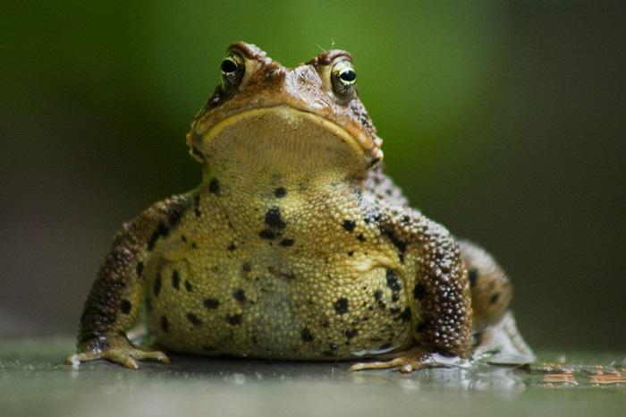 Жаба.