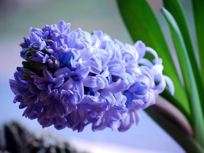Один из первых цветов, который распускается в саду в начале весны.