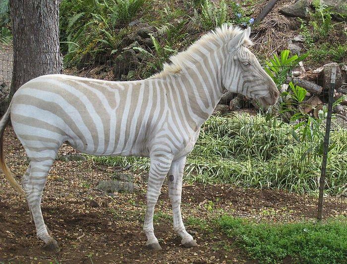 Зебра-альбинос, в организме которой недостает лишь одного красящего пигмента: темного меланина.