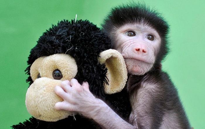 Маленький павиан обнимает детскую игрушку.