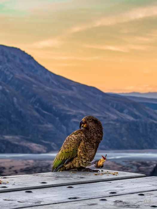 Любопытный попугай кеа обедает яблоком.