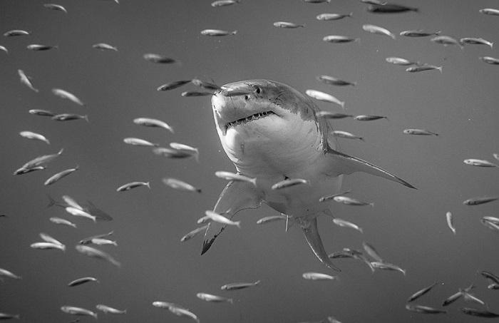 Автор фотографии «Большая белая акула» – Алехандро Купи (Alejandro Cupi).