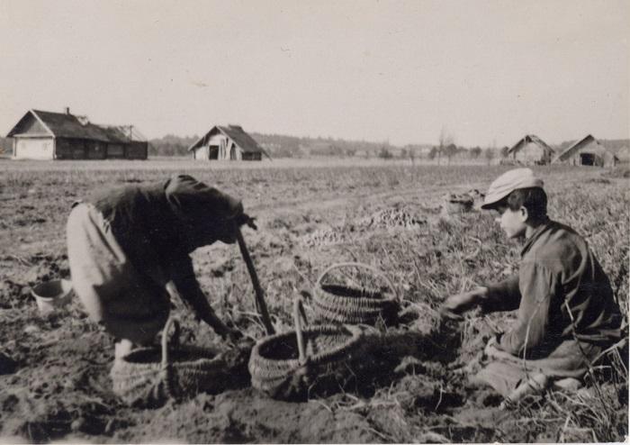 Женщина с сыном копают картофель, 1938 год.