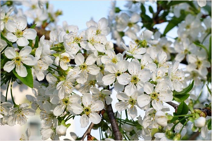 Бурное цветение вишни.