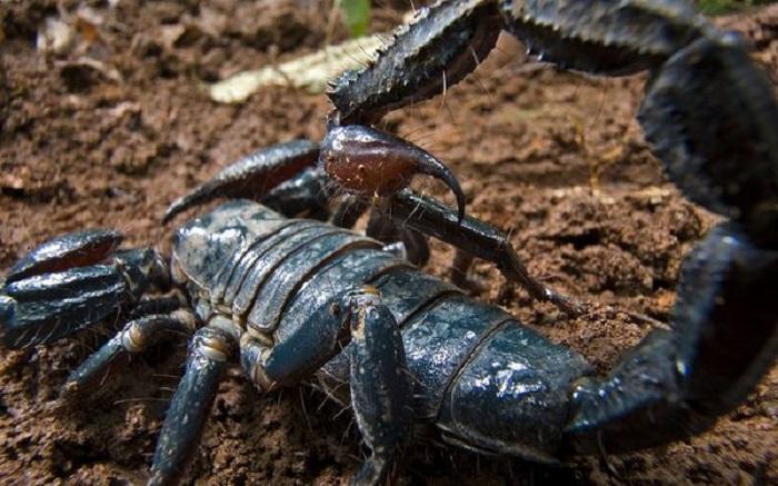 Скорпион был найден во время исследования 2006 года в Гане. Несмотря на свои огромные размеры (8 дюймов), он питается преимущественно термитами и другими мелкими беспозвоночными, а его яд не особенно вреден для человека.