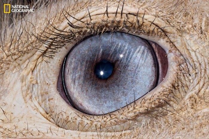 Самые крупные глаза среди наземных животных, с густыми ресницами на верхнем веке. Каждый глаз размером с мозг.