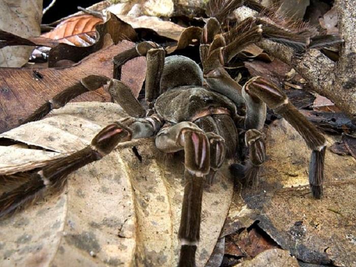 Самый массивный паук в мире, весом в 170 грамм. Питается беспозвоночными, а также  мелкими млекопитающими, ящерицами и даже ядовитыми змеями.