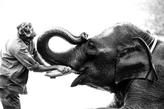 В лагере Dubare Elephant Camp, посетители могут помочь купать и кормить слонов, посмотреть их на тренировку, Карнатака, Индия. Фотограф: Aditya D.