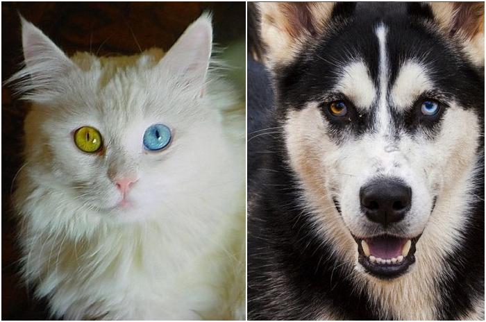 Животные с разноцветными глазами.
