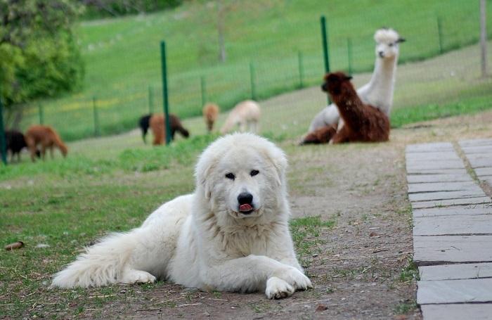 Все представители этой породы имеют белый окрас шерсти и способны самостоятельно принимать решения. /Фото: prosobak.com