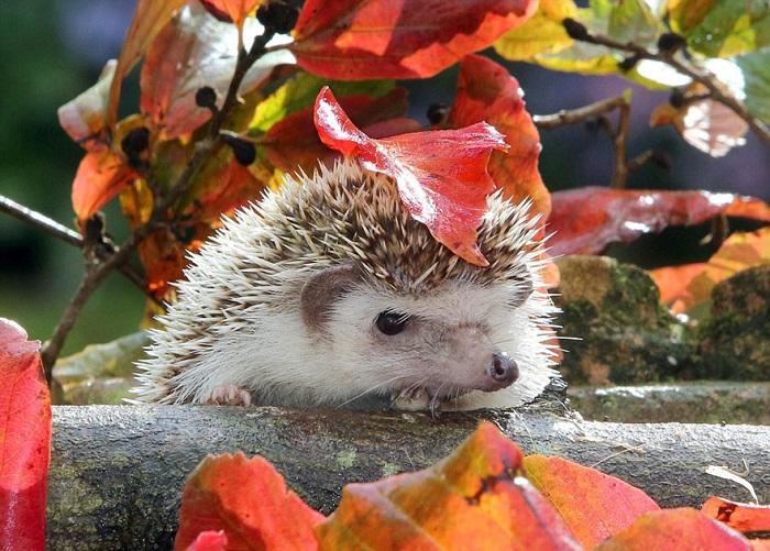 Суровый ежик спрятался под листом.