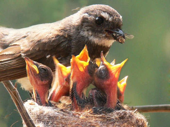 Веерохвостка нашла большую муху для своих птенцов. Самые сильные из них дотягиваются к еде в первую очередь, именно у них и получается выжить.